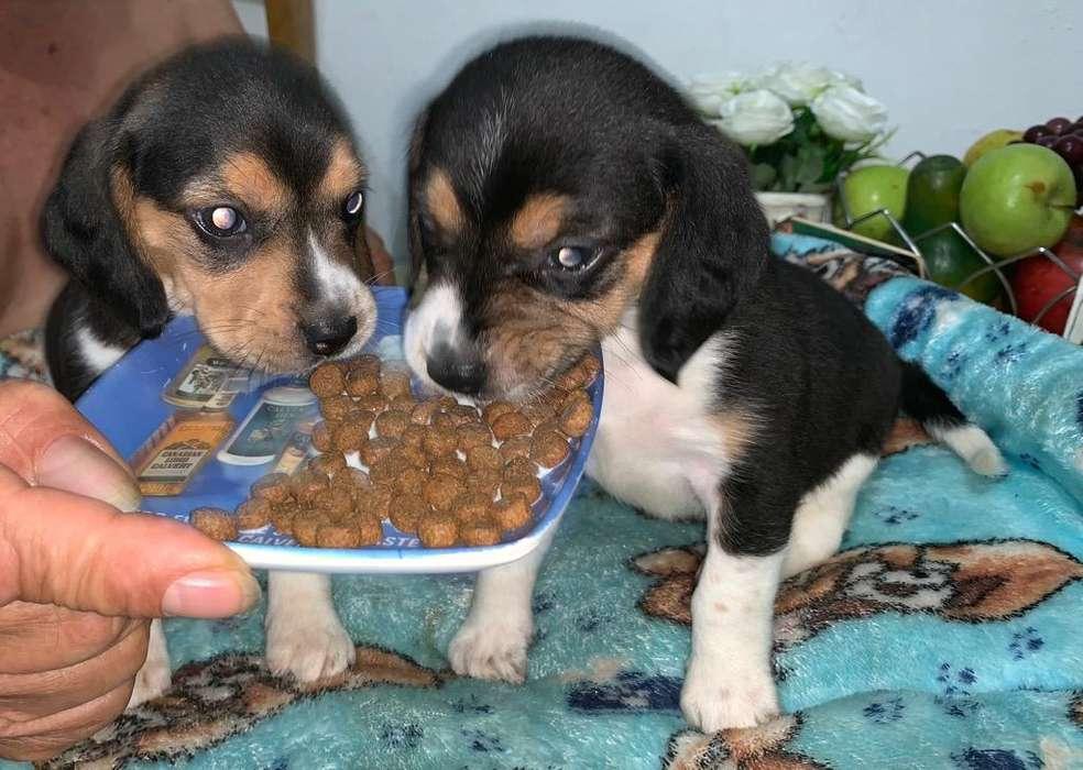 Cachorros beagle de 35 Dias