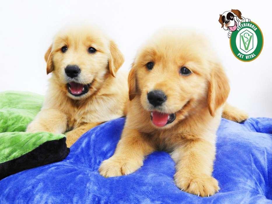 <strong>cachorro</strong>S HERMOSOS GOLDEN RETRIEVER EN PET VITAL