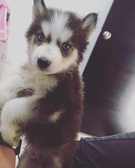 Hermoso <strong>perro</strong> Husky Lobo Siberiano
