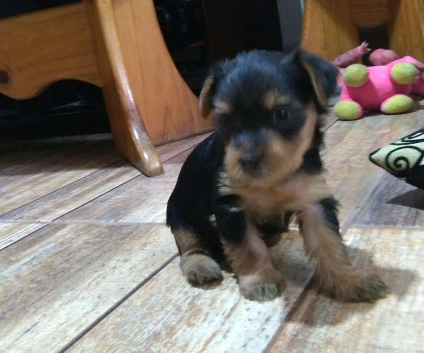VENDO <strong>cachorro</strong>S YORKSHIRE RERRIER PUROS