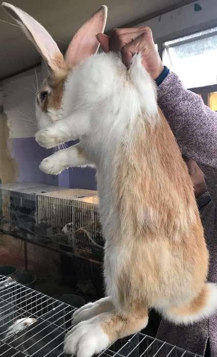 Conejos Gigantes Bogotá 3224499925