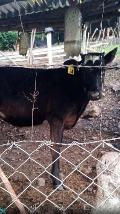 Vaca Lechera 1 Año