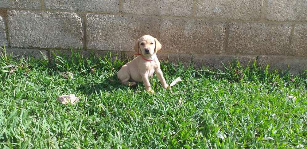 Vendo Lindos Labradores Retriever.