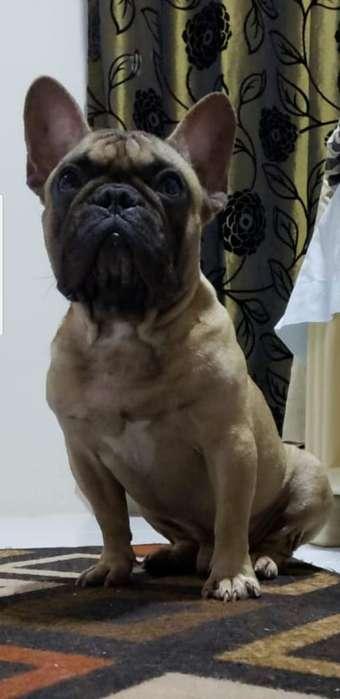 <strong>bulldog</strong> Frances Macho para Mont
