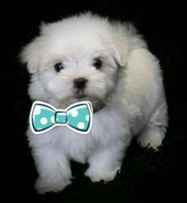 <strong>cachorro</strong>s Malte de Color Blanco.raza Pur