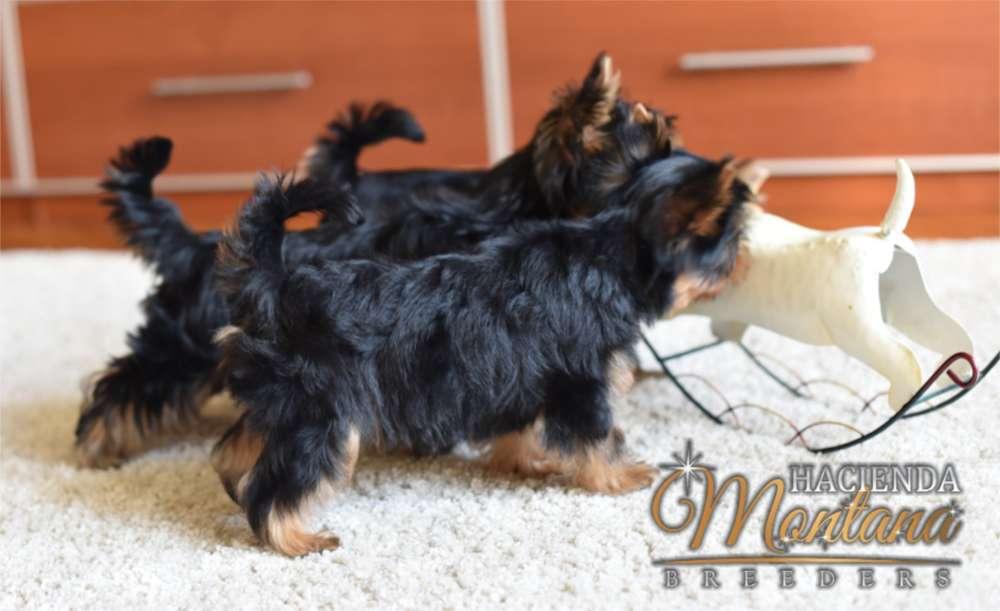 CACHORROS YORKSHIRE <strong>terrier</strong> EN VENTA ARMENIA