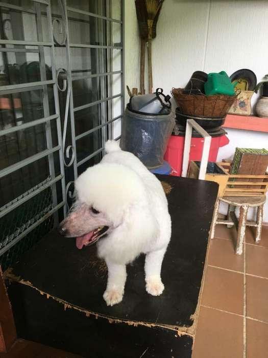 Hermoso French Poodle para Adopción