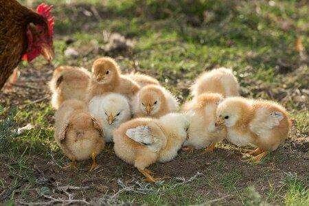 Pollitas Criollas de Huevos de Colores