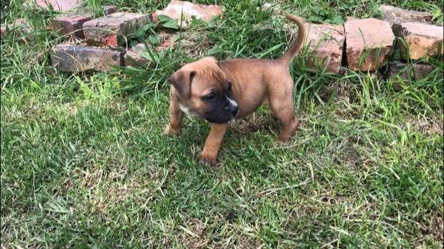 bullmastiff con stanfordshire terrier