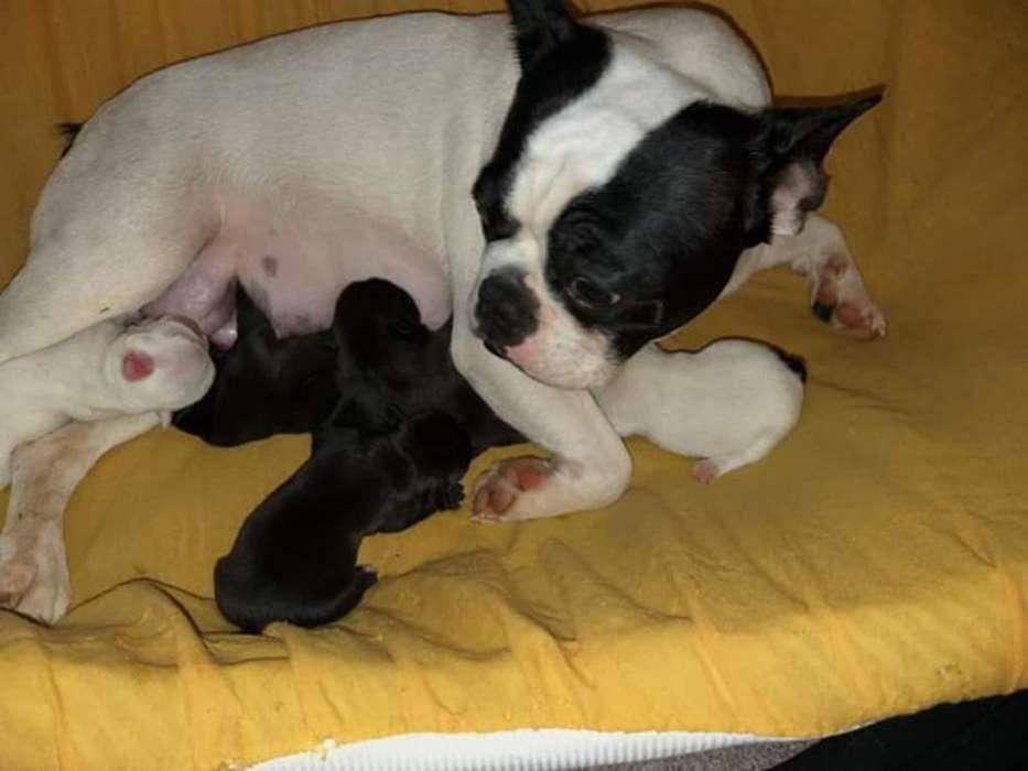 <strong>bulldog</strong> Frances-bel-dan