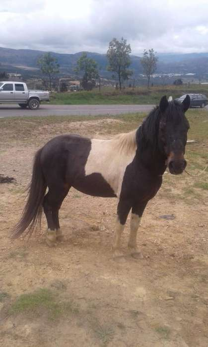 a La Venta Hermoso Semi Pony Pinto Manso