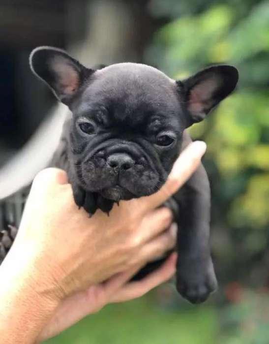 Estupendos Bulldog Frances Disponibles
