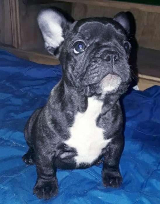 Vendo Bulldog Frances Padres a La Vista