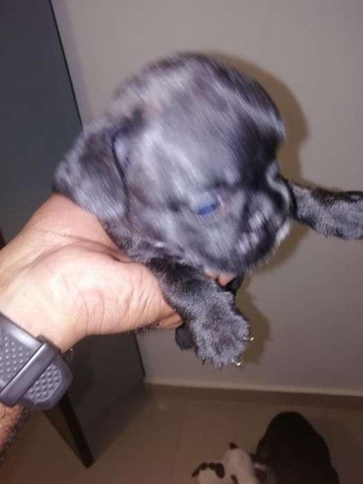 Vendo Bulldog Francés Macho