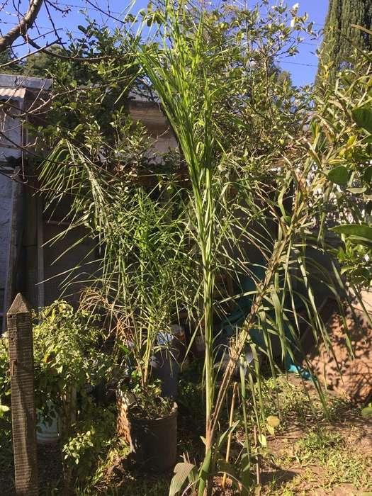 Palmeras Cocoteras en Latas Altura 2 Mts