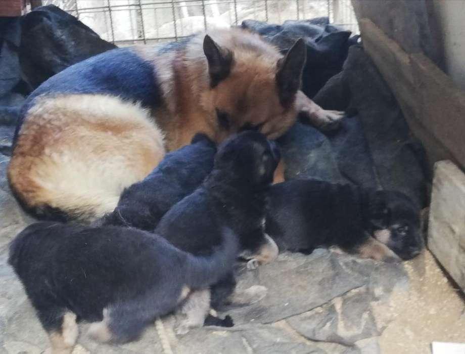 Se Venden <strong>perros</strong> Pastor Alemán Raza Pura