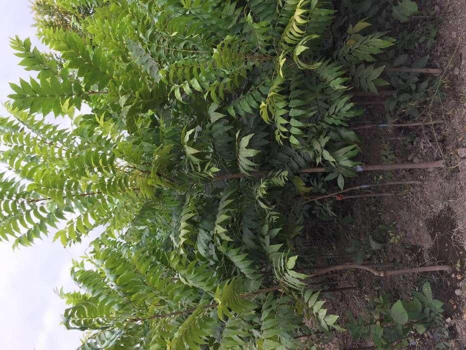 Plantas de PECANO Variedad COCO