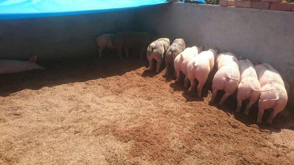 Porcicultor Ecologico- Venta Carne Cerdo