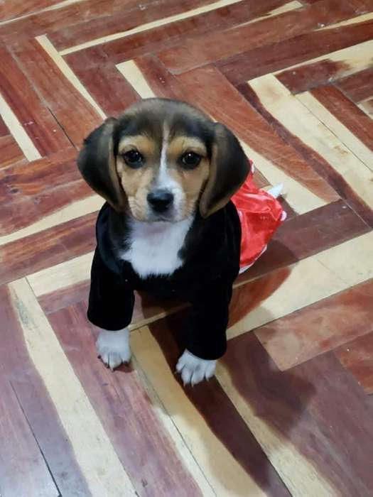 Linda Cachorra Beagle de 3 Meses