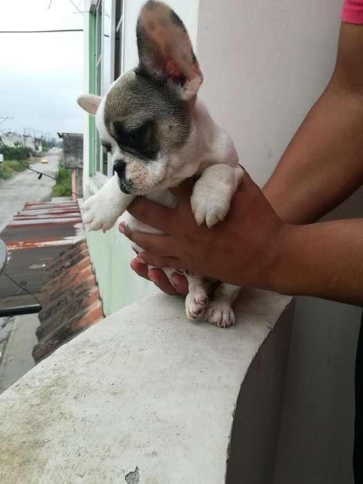 Bellos Bulldog Frances