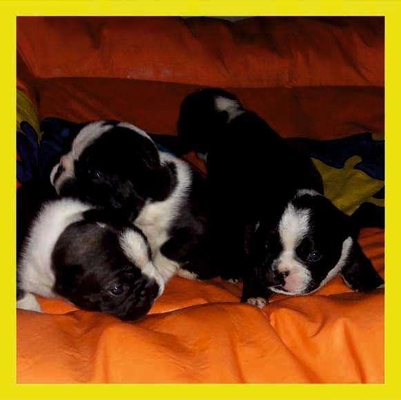 HERMOSOS <strong>bulldog</strong> FRANCES!! ACEPTO TARJETAS/ ENVIOS