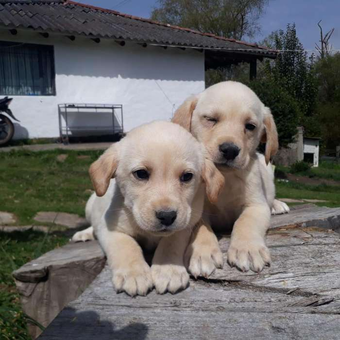 Husky Siberiano, Bull dog inglés y francés, Border Collier, Pinscher CACHORROS PURA RAZA DESDE