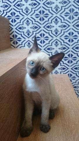 legítimos gatitos siames thai 100% puros de ojos azules hembras y machos disponibles