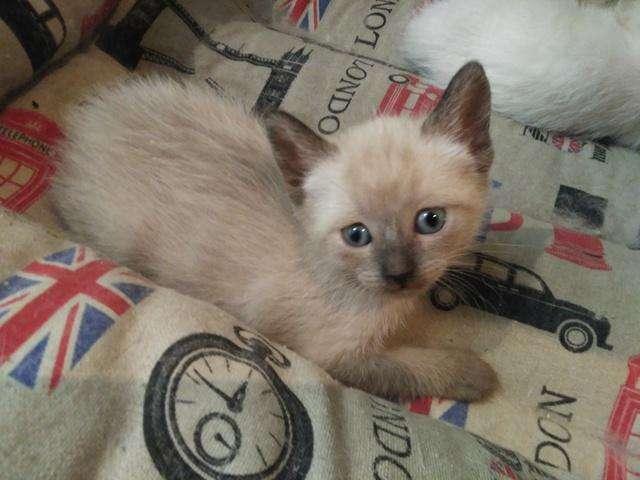 formidables gatitos siames de excelente genética de ojos azules hembras y machos disponibles