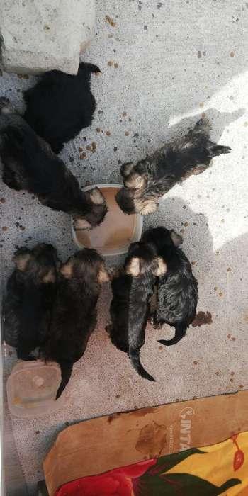 Vendo Perros Snausher Puros