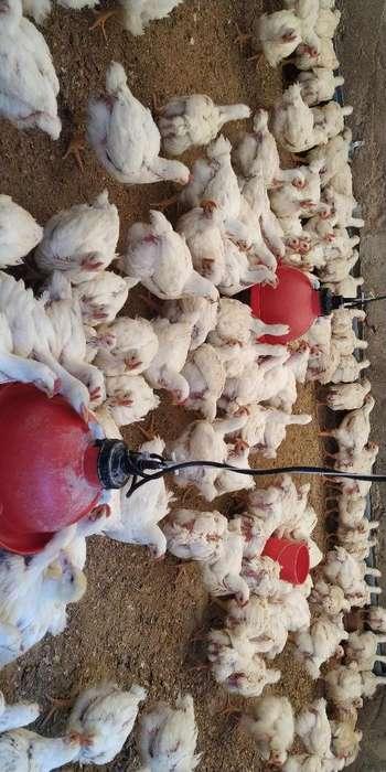 Venta de <strong>pollos</strong>