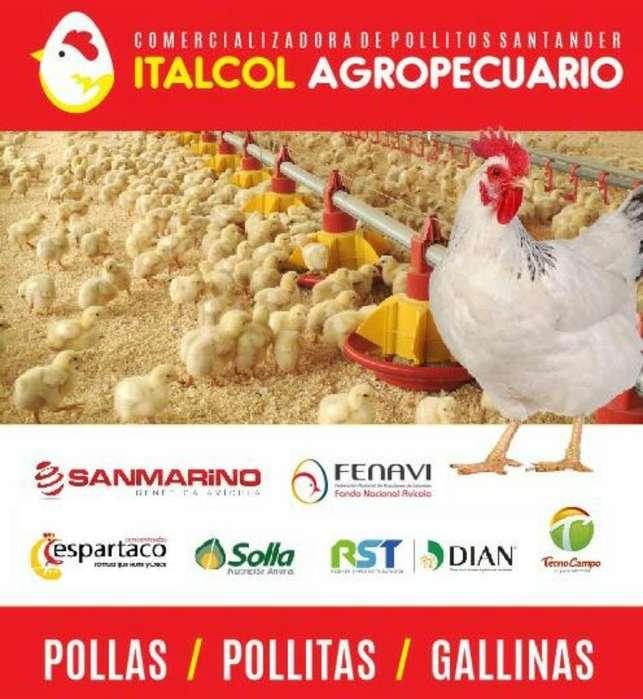 Comercializadora de Pollas Ypollas Polli