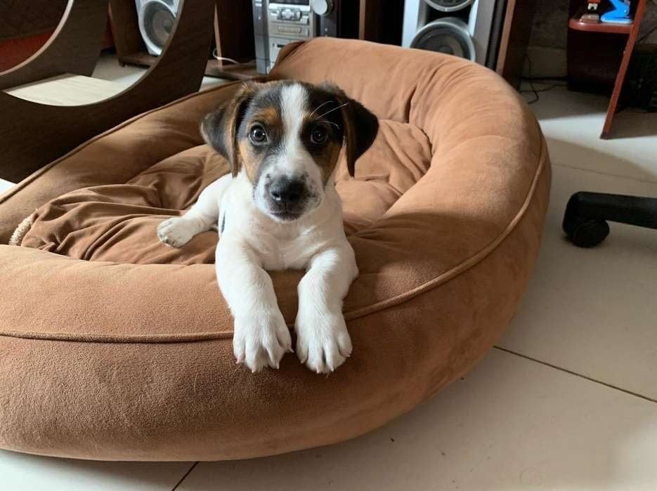 Cachorro Jack Russell