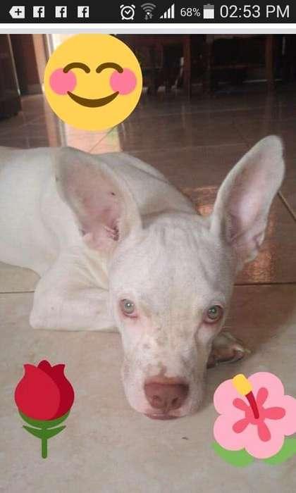 <strong>perra</strong> albina ojos azules para adopcion