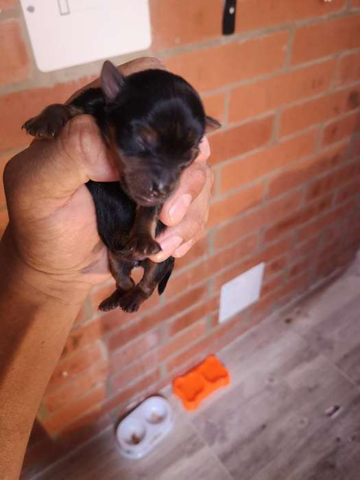 Vendo Cachorros de Yorkie Mini