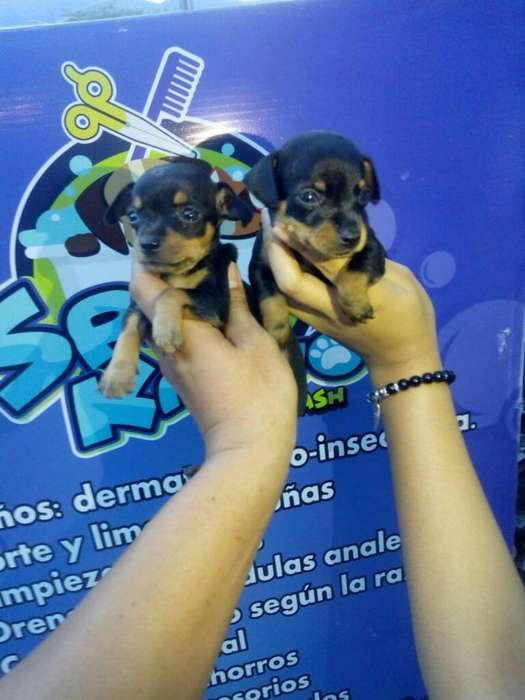 Pincher Disponibles