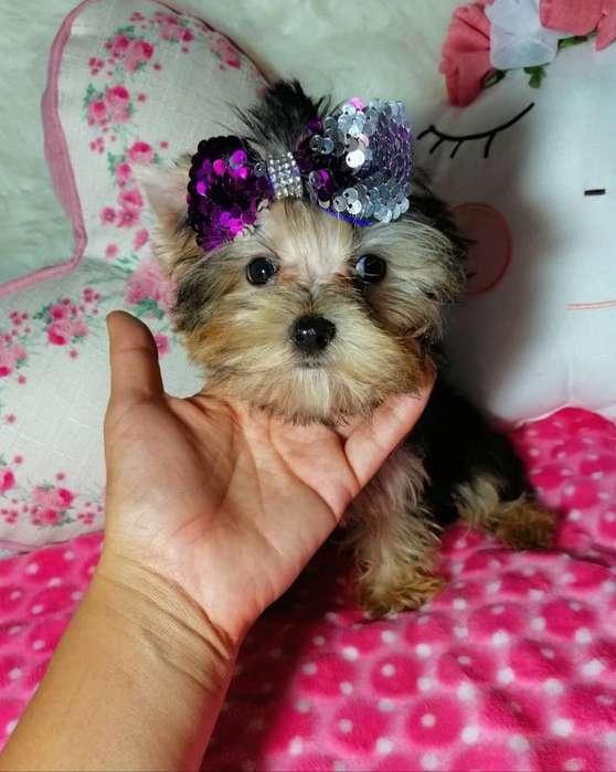 Yorkshire Terrier Teacup Macho