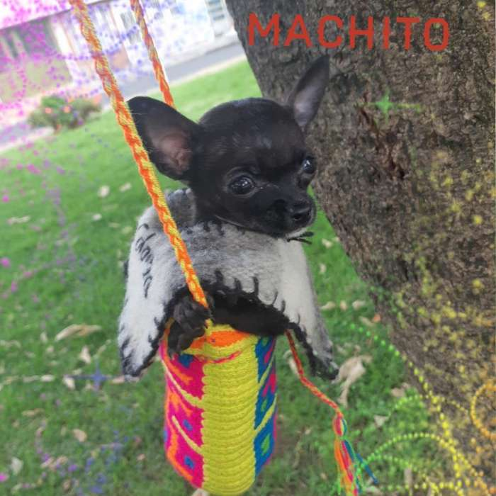Bolsilleritooo Chihuahua Super Economic