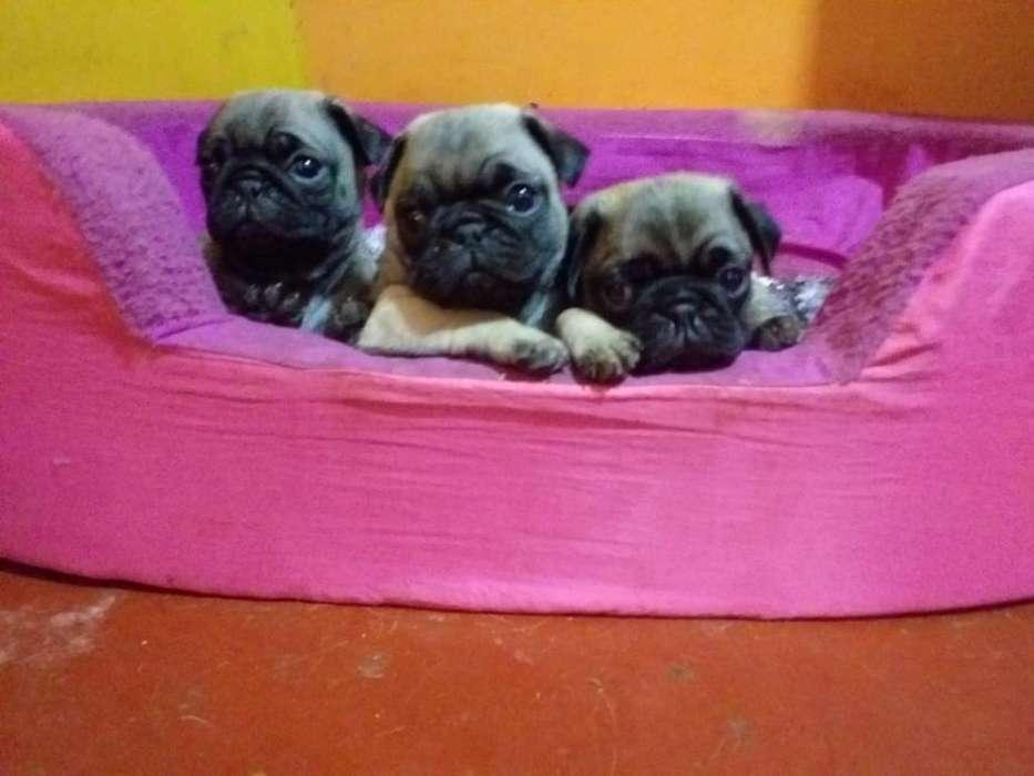 Pug Cachorritos en Venta