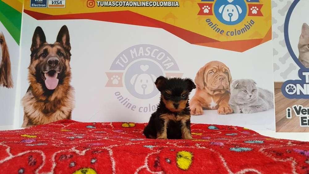 Tacita Yorkshire Terrier Mini