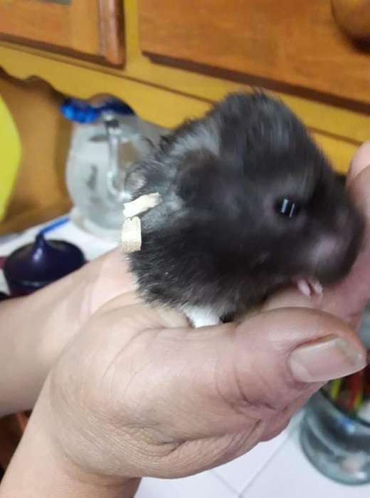 Vendo <strong>hamster</strong>s a 18 la pareja