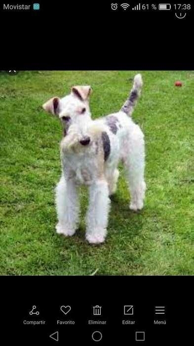 Doy en Adopción Fox Terrier Inglés