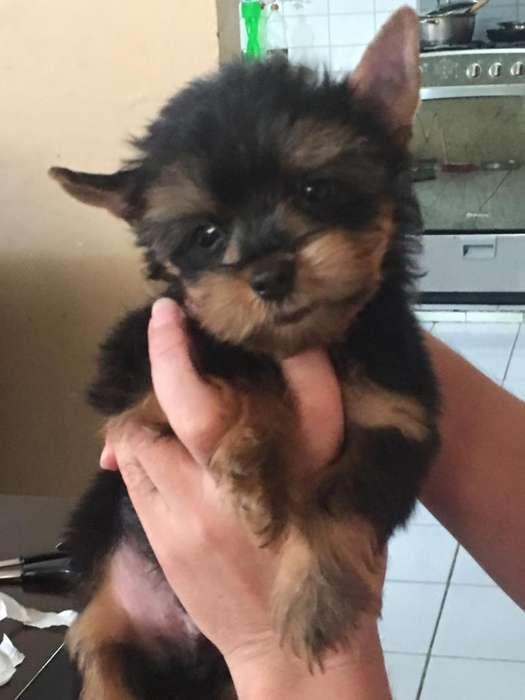 Cachorros Yorkshire Terrier Tasita de Te