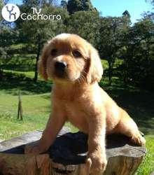 Espectaculares Cachorros Golden Retriever TU CACHORRO TIENDA