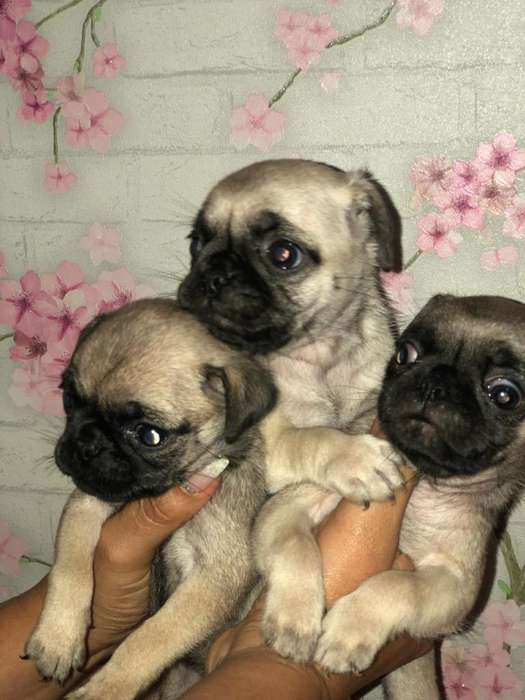<strong>perro</strong>s Pug