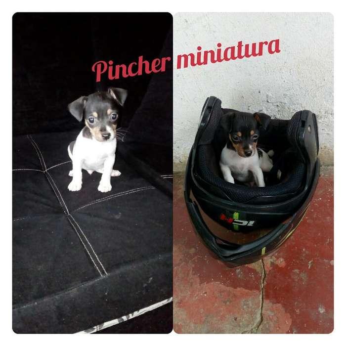 Lindos <strong>cachorro</strong>s Pincher Miniatura