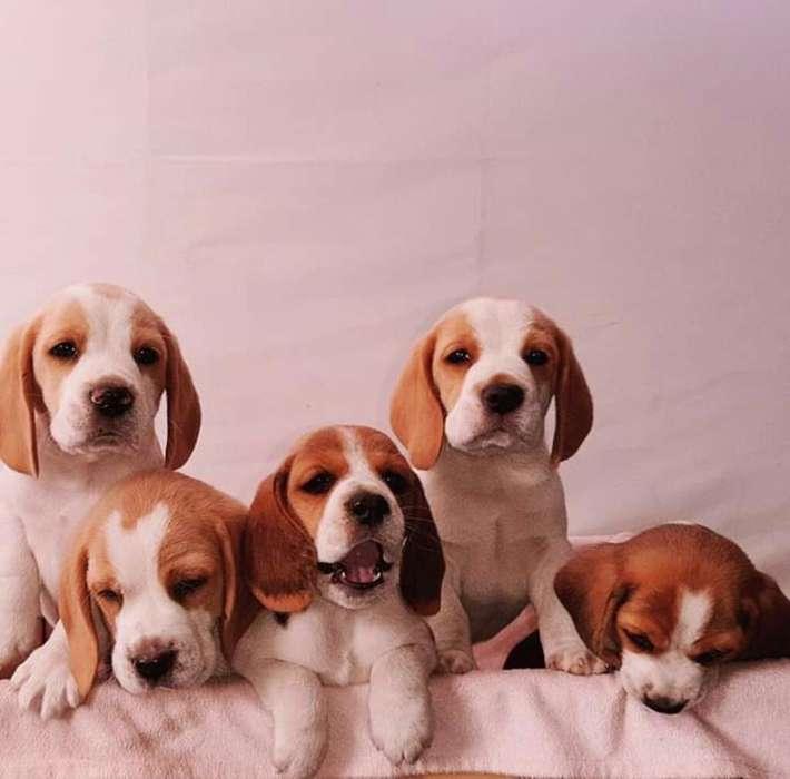 <strong>beagle</strong>s Limon de Alexandria Cachorros