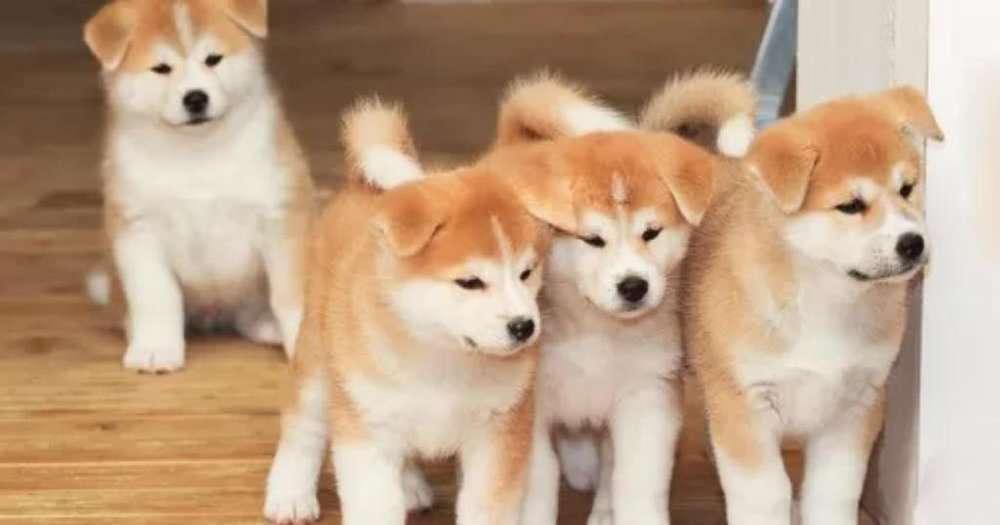 Akita Cachorros con Garantia