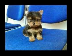 Shihtzu Pomerania Chihuahua Persa Yorkie