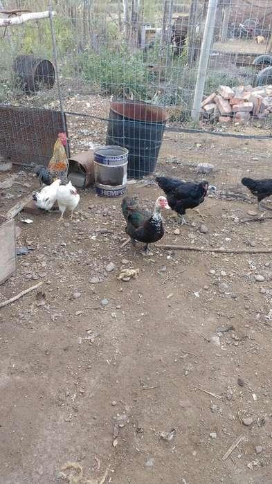 Vendo Gallinas 150tambien Patos Criollo