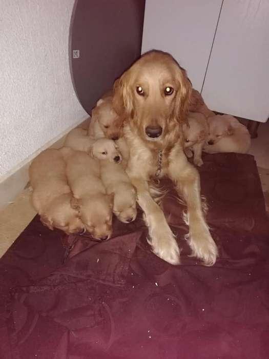 Hermosos <strong>cachorro</strong>s Golden
